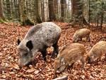 Parco, ucciso il cane dell'agricoltore che gestisce i cinghiali