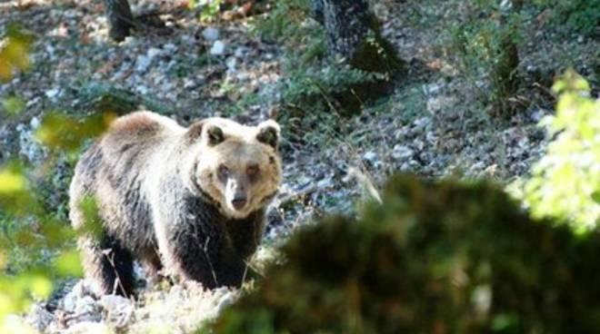 Pettorano sul Gizio, orso 'insonne' ripreso da smartphone