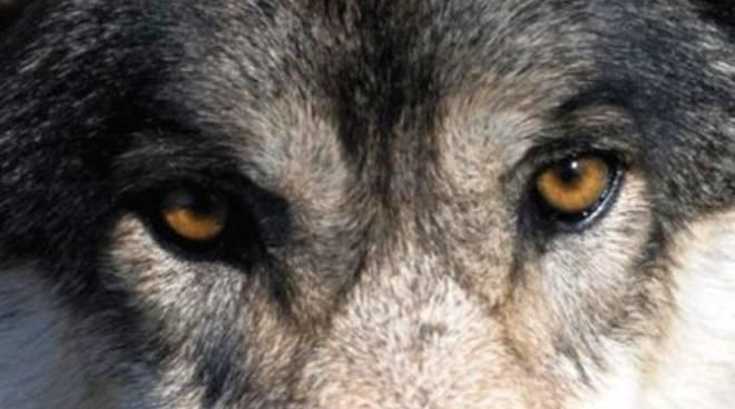 L'Aquila, lupo investito sull'autostrada