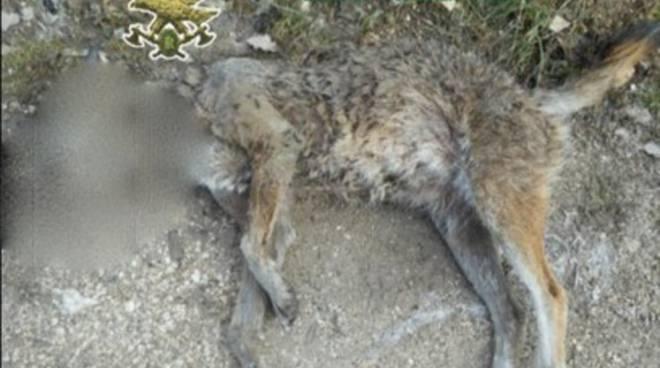 Forestale trova lupo morto a Scanno, indagini