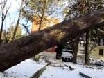 L'Aquila, un altro albero abbattuto