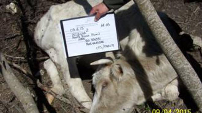 Bisegna, rinvenute 20 carcasse di bovini
