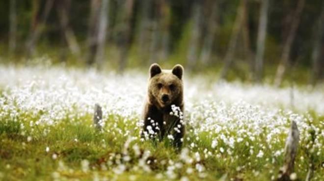 Villavallelonga, avvistato cucciolo di orso senza mamma
