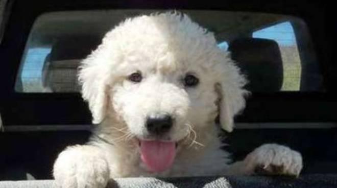 Allevatore riceve in dono cucciolo di cane da gregge abruzzese