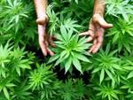 Collarmele, arrestato coltivatore di 3 serre artigianali di marijuana