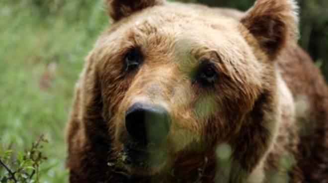 E' morta l'orsa Tranquilla