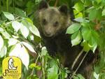 L'orsetta senza mamma cresce bene grazie al Parco