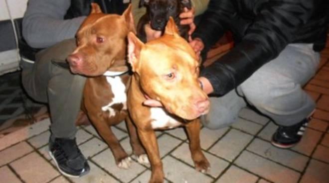 Terrore a Sulmona, pitbull manda bimbo in ospedale