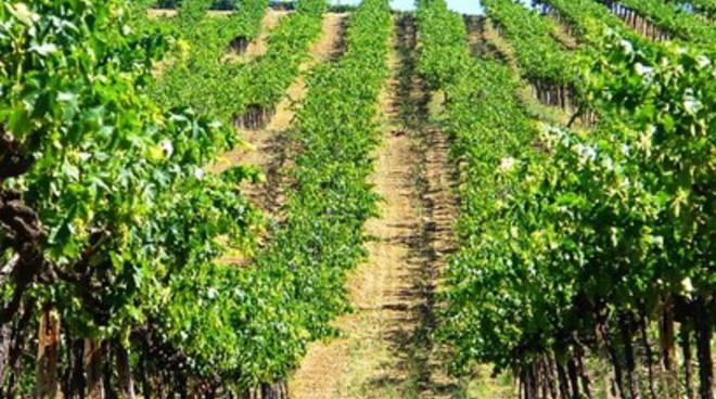 Viti e vini in Abruzzo, 500 ettari per i giovani e la Ricerca