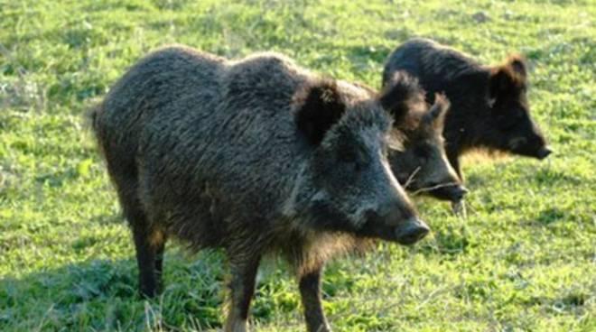 Danni all'agricoltura e dramma cinghiali, Pisegna ribatte all'Opposizione
