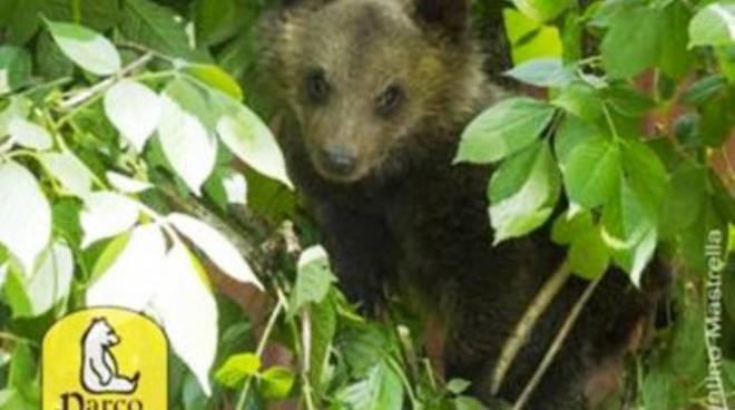 Parco Abruzzo, un esperto internazionale per l'orsetta Morena