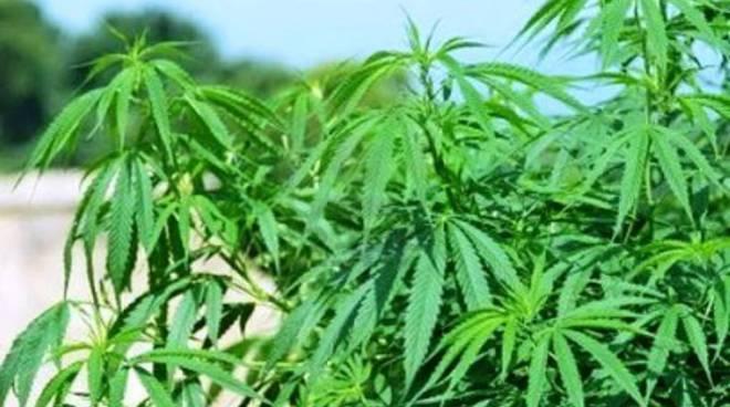 10 piante di marijuana in un bosco della Valle Roveto