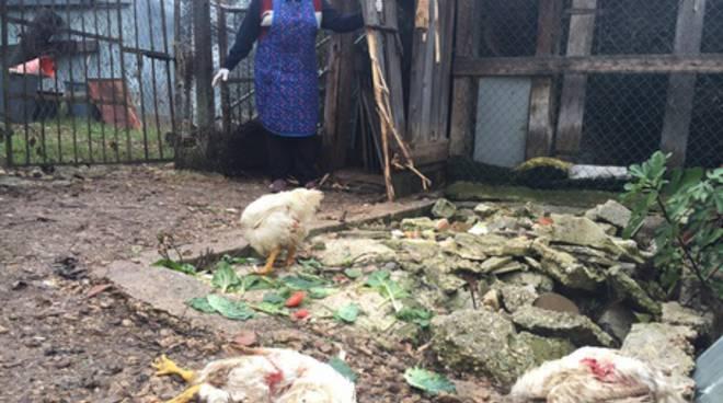 Razzia orso marsicano in pollaio