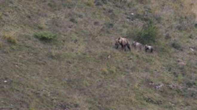 Orso marsicano: nel 2015 avvistati sei nuovi cuccioli