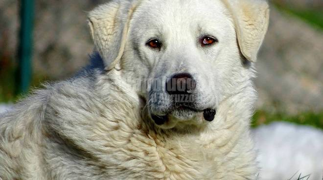 osvaldone cane eroe di rovere