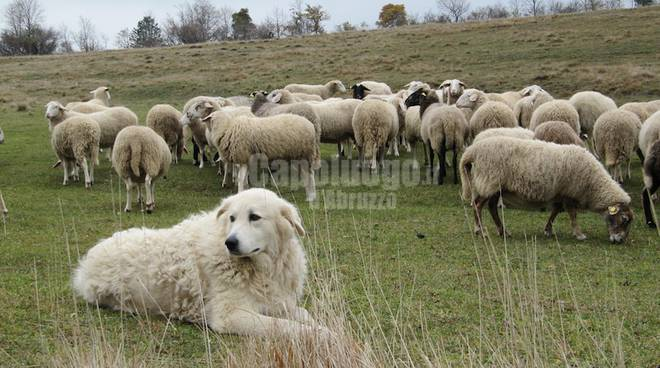 pastore maremmano abruzzese