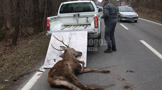 bracconieri uccidono cervo