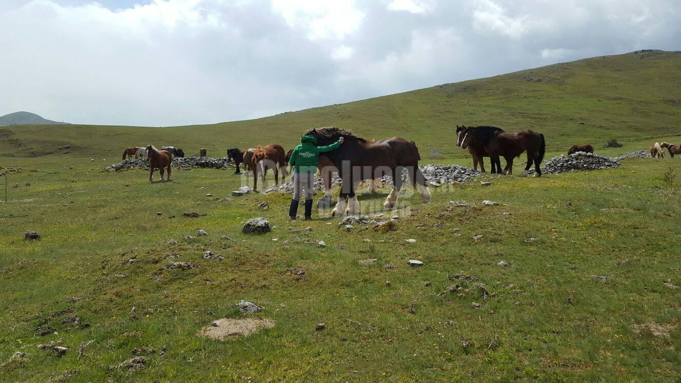 cavalli allo stato semibrado