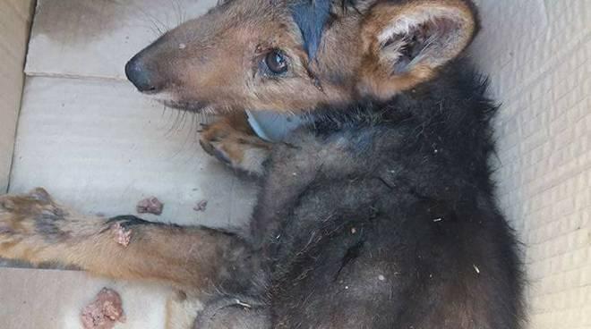 Super Lucoli, trovati cuccioli di lupo - Il Capoluogo RC84