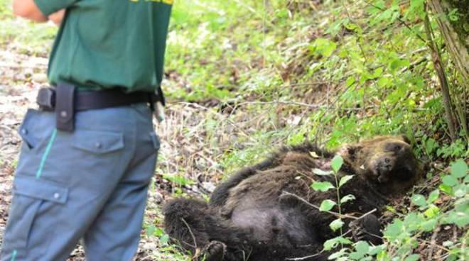 orso ucciso pettoran