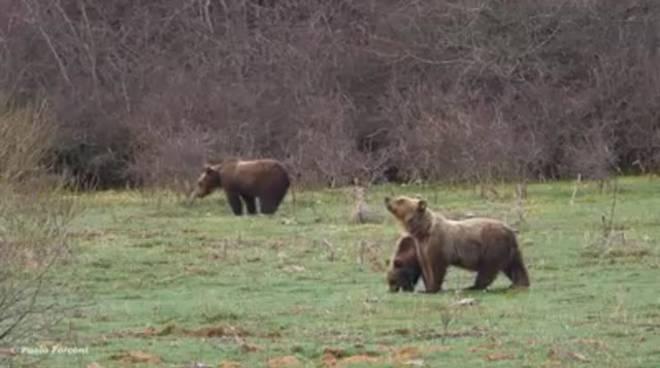 orsa con cuccioli parco nazionale d'abruzzo