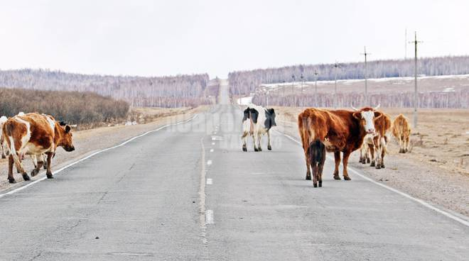mucche strada