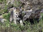 lupo cucciolo