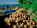 patata igp fucino