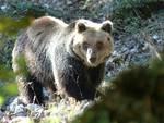 orso mario