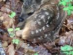 cervo cucciolo di cervo capriolo