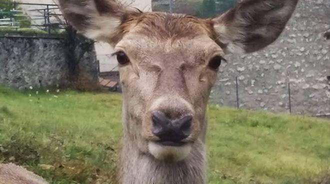 cervo villalago