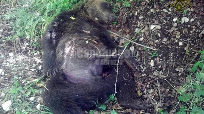 orso ucciso a pettorano