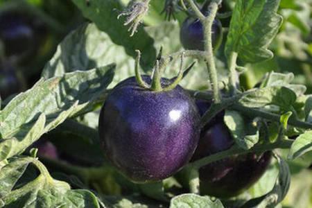 pomodoro viola