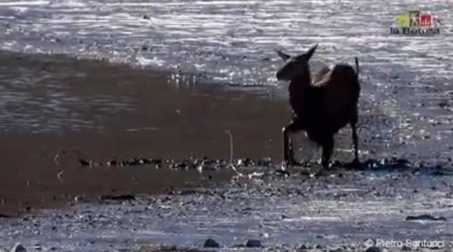 cervo barrea lago