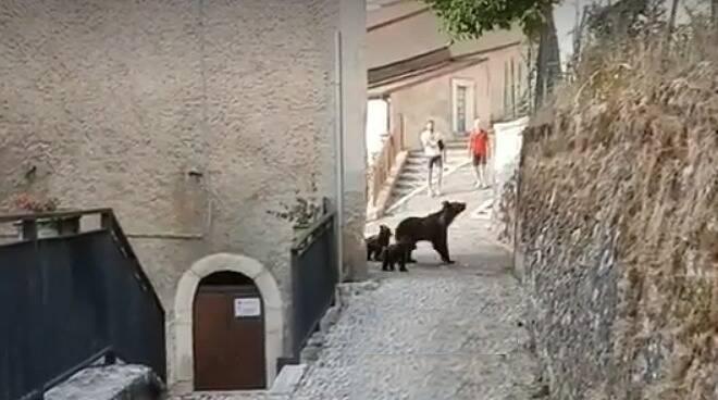 orsa amarena cuccioli orsi