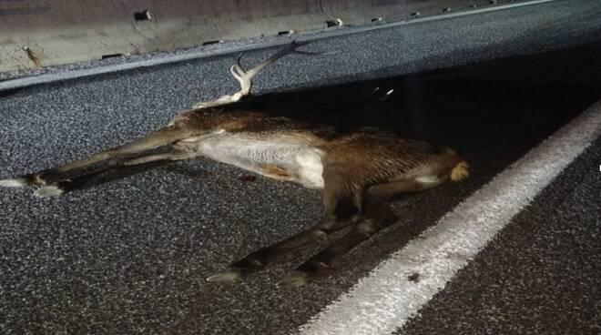 cervo investito a25 pescina