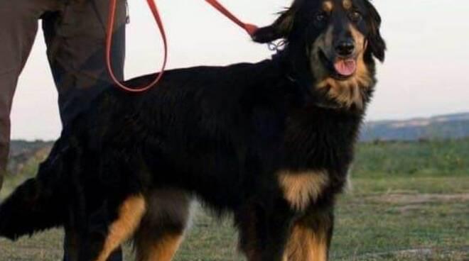 cane da valanga abruzzese