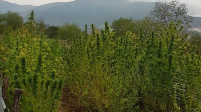 piantagione marijuana Valle Peligna
