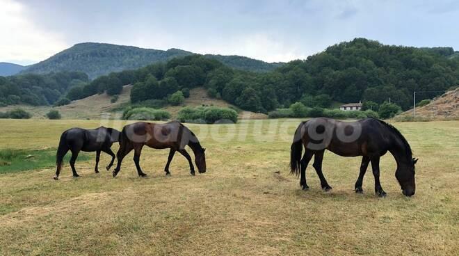 cavalli generica