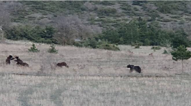 orsa amarena
