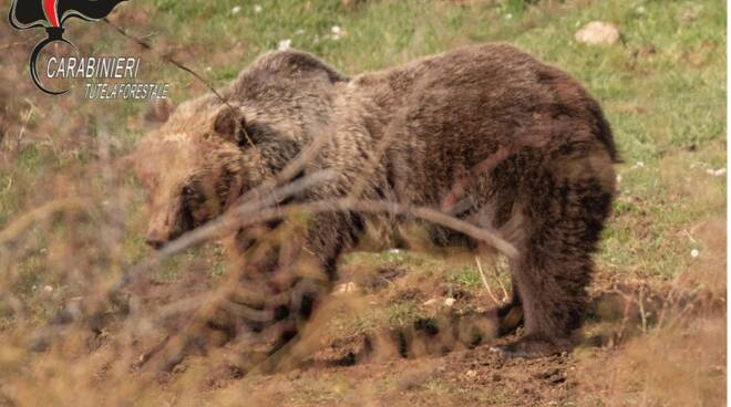 orsa amarena e cuccioli