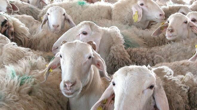 pecore brucellosi ovicaprina