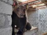 orso Ortona dei marsi
