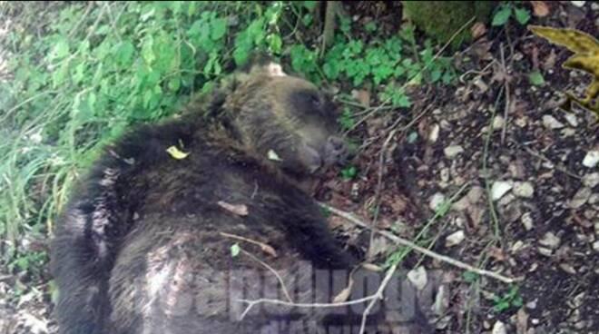 orso ucciso Pettorano