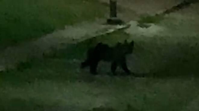 orso civita